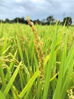 一期稻作 空包彈災情頻傳