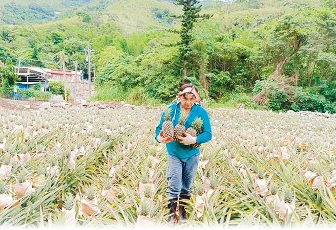 猴害嚴重,果農採收跟台灣獼猴搶速度。(朱益利提供/楊漢聲台東傳真)