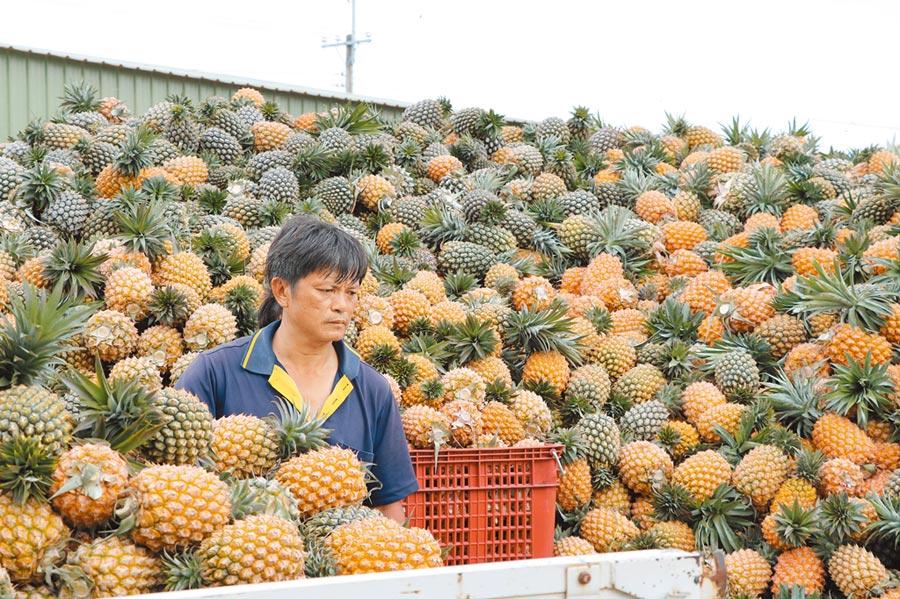 台南鳳梨今年盛產,但民代憂一旦ECFA9月底屆滿後終止,鳳梨及傳產製品將崩盤。圖為合作社人員在堆積如山的鳳梨堆裡。(本報資料照片)