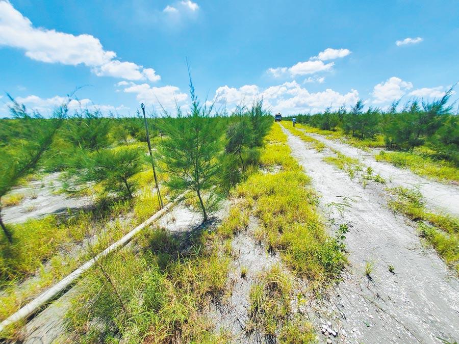濁水溪高灘地3年來投注11.5億元經費,在沙地底下埋設水管,因地制宜種植防風林,目前已一片蓊鬱。(周麗蘭攝)