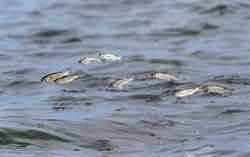 雲南驚見大量魚群狂跳出水面 居民憂:地震前兆?