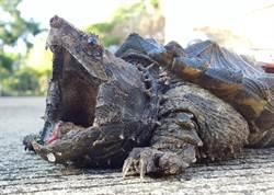 29公斤大鱷龜現蹤馬路上 極強咬合力堪比鱷魚