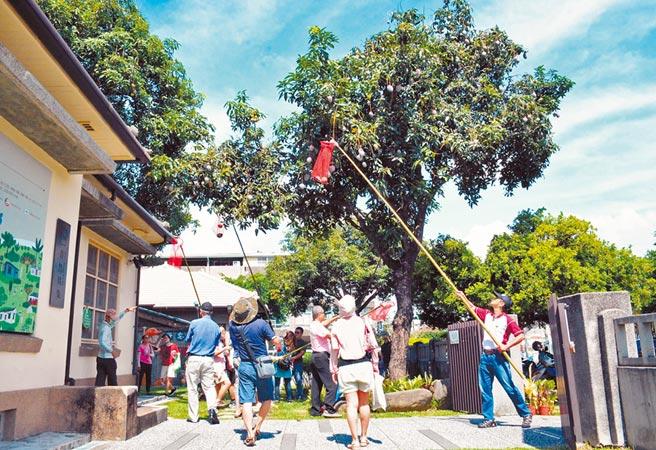 勝利星村保留日式眷舍及老樹,夏季可見民眾打芒果,充滿濃濃眷村味。(林和生攝)