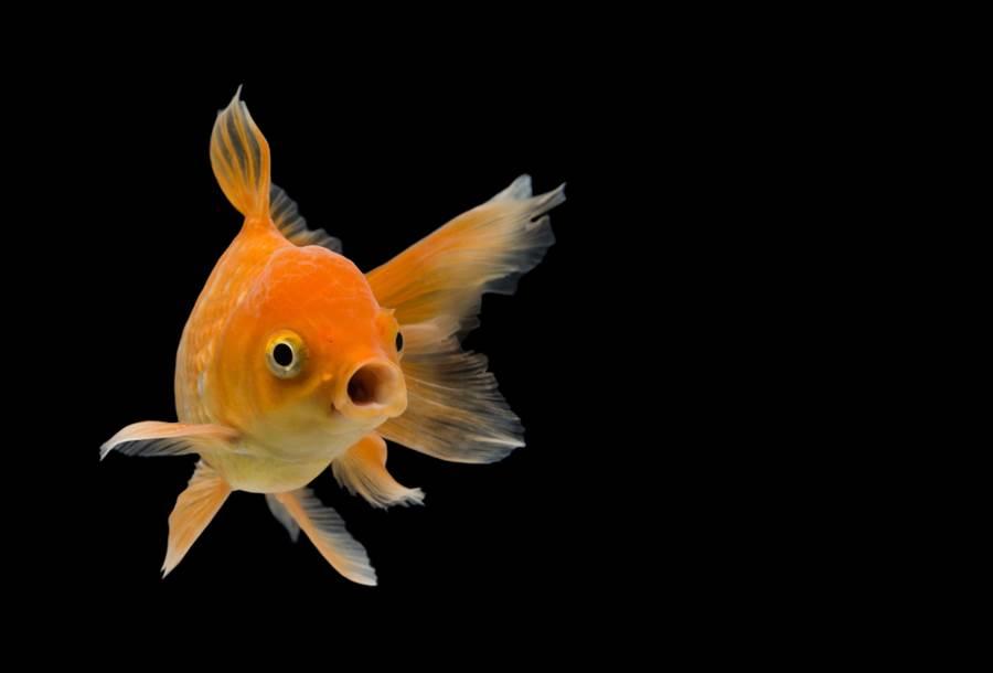 新冠肺炎疫情不只影響人類健康,連寵物魚也成為受害者,近期出現大量暴斃情形,原來是主人使用酒精或乾洗手清潔雙手後,直接將手伸進魚缸,導致魚缸水汙染、魚群死亡。(圖/shutterstock)