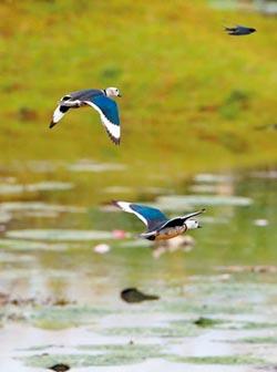 世界上最小鴨子 頻現鄱陽湖