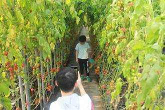 設施番茄出現外來種番茄潛旋蛾 防檢局積極輔導農友進行緊急防治