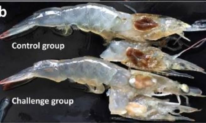 正常蝦隻肝胰腺是棕褐色(上),遭感染白蝦肝胰腺呈黃白色(下)。(圖片來源:農委會家畜衛生試驗所)