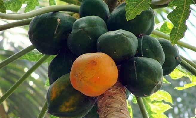 木瓜從果肉到籽都對健康有益處。(圖片來源:pixabay)