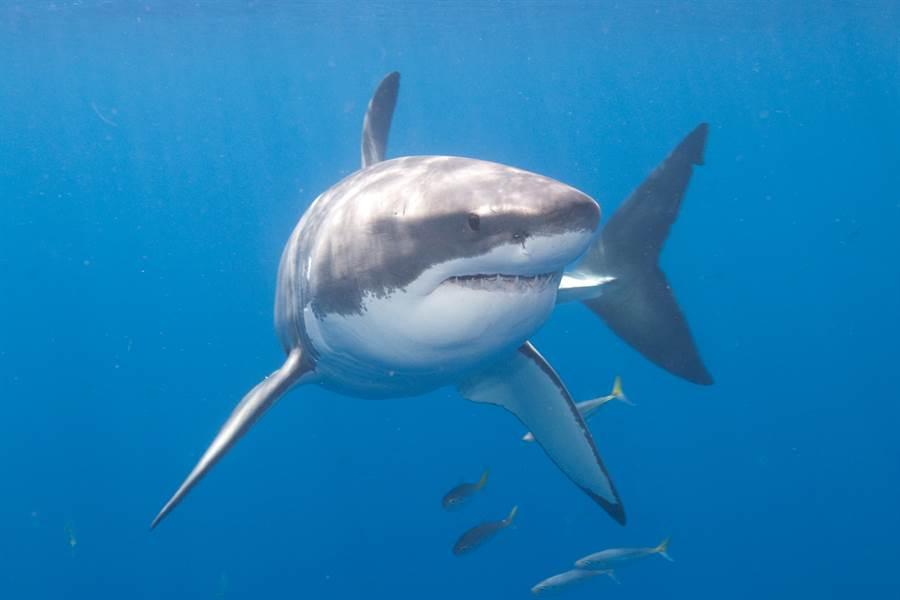 大白鯊兇猛撕咬海豚 臟器外露畫面超駭人(示意圖/達志影像)