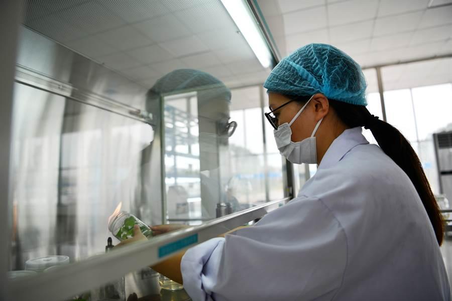 天津一工作人員在甘薯產業科技示範園區進行試管苗擴繁工作。(新華社資料照片)