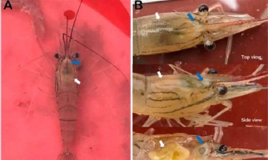 遭感染泰國蝦。左圖藍色箭頭位置可以看到額角基部出現白色斑塊、且肝胰腺萎縮,顏色變淡黃色;右圖為放大圖片。(圖片來源:農委會家畜衛生試驗所)