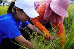 學童割稻謝天慶豐收