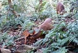 山羌、水鹿、黃猴貂入鏡 知本溪流域生態豐富