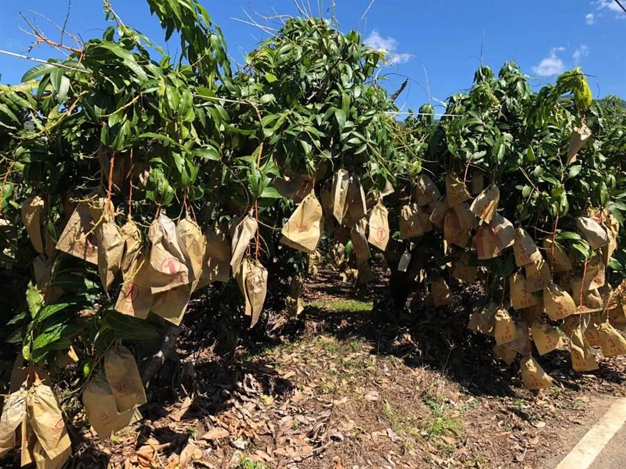 高雄金煌芒果今年產量比去年增加1成。(林宏聰攝)