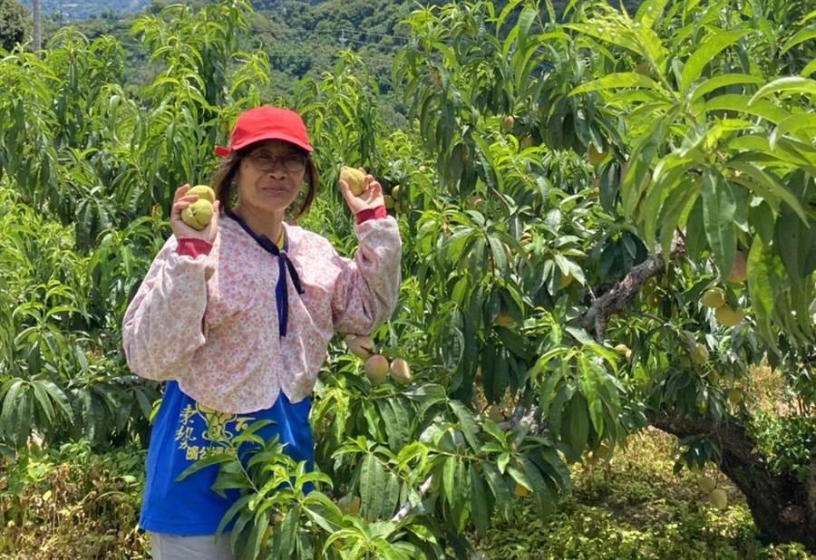 台中石岡林明珠是國內少數還種鶯歌桃的果農(林明珠提供/王文吉台中傳真)