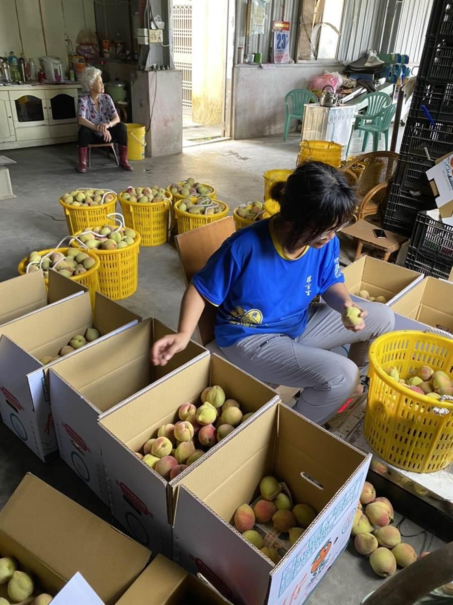 陸家「鶯歌桃」產量不多,透過網路宅配銷售,吸引一票有點年紀的死忠「桃迷」。(林明珠提供/王文吉台中傳真)