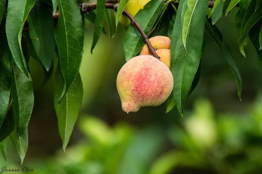 「鶯歌桃」原產於中國大陸陝西、甘肅、西藏一帶,果實頂端突起,就像鸚鵡嘴巴一樣,因此被稱為「鶯歌桃」。(林明珠提供/王文吉台中傳真)