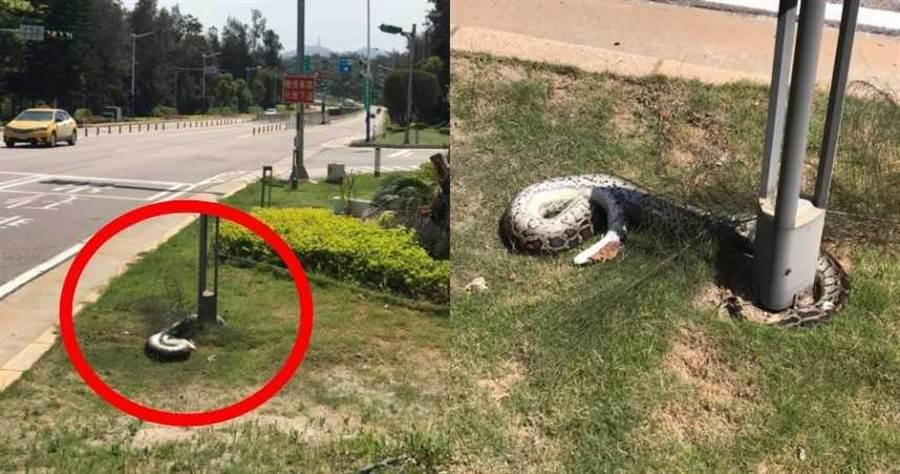 金門一處路口旁突然出現一尾長達2公尺的巨蟒。(圖/翻攝自臉書靠北金門)