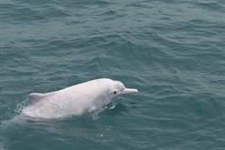 巧合!大甲媽繞境延後 「媽祖魚」白海豚也晚到