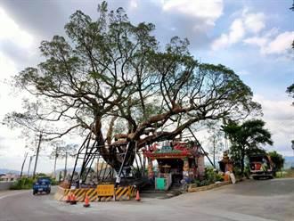 卓蘭「浮在空中的樹」階段性完工  搶救過程變成活教材
