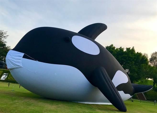 可愛萌樣優游在安平水域的安平虎鯨Orca,即日起將先於億載金城進行14天的「隔離檢疫」。(曹婷婷攝)