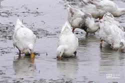 防坦布蘇病毒 農委會啟動蛋鴨場全面抽驗