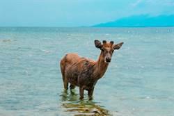 海上驚見鹿載浮載沉 離奇景象漁夫看傻