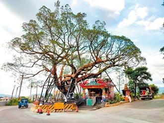 苗栗搶救老樹過程 列為活教材