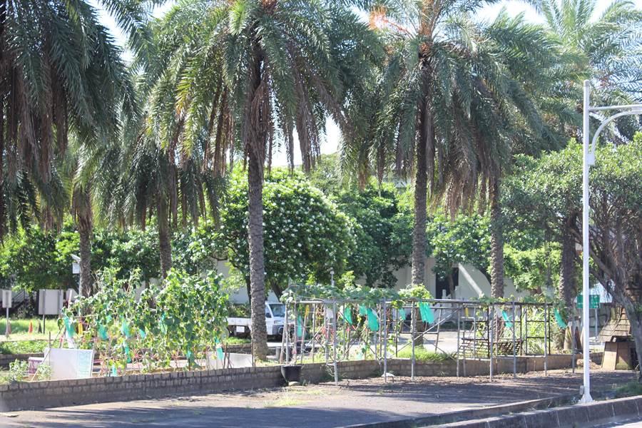 八仙樂園關閉後,停車場內被人種植大批農作物,當地人說現在是提供溫飽的農場。(戴上容攝)