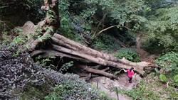 200年巨木壓毀楔隘古道72階 志工合力開便道籲小心通行