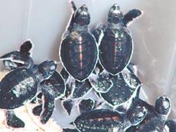 報喜 澎湖綠蠵龜產第一窩卵