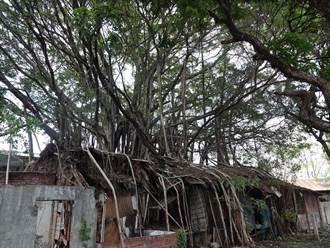 歷史與自然共生!刑務所「樹包屋」成特色