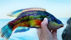 日男沖繩釣到「油漆怪魚」顏色鮮豔繽紛超罕見