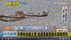 真的熱到往生!花蓮2公尺大蛇爬出馬路 竟遭柏油路活活燙死