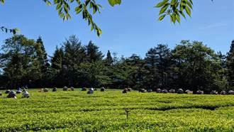 高山茶夢幻逸品 福壽長春茶開放預購