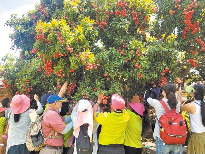 摘星山莊舉辦「荔夏約定」活動,大批民眾衝向荔枝樹大顯身手搶摘荔枝。(陳淑娥攝)