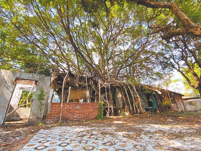台中刑務所官舍群中的1棟建築,因大榕樹樹根侵入,形成「樹包屋」型態。(文化局提供/林欣儀台中傳真)