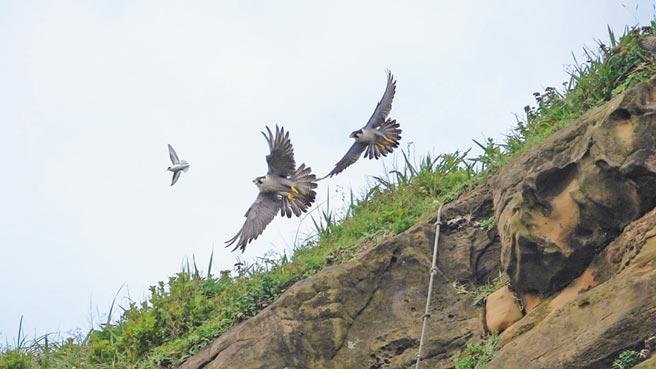 深澳遊隼兄弟大寶、小寶為了飛得更好,在崖邊練俯滑飛行「衝浪」練習。(沈錦豐提供)