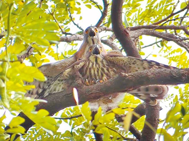 鳳頭蒼鷹為保育類動物,但由於已習慣都市生活,公園、學校皆可見其蹤影。(鄭惠陽提供)