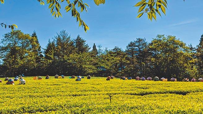 福壽長春茶採友善健康管理,每年僅5、6月與9、10月間以人工採收春季及冬季兩期茶葉。(福壽山農場提供/王文吉台中傳真)