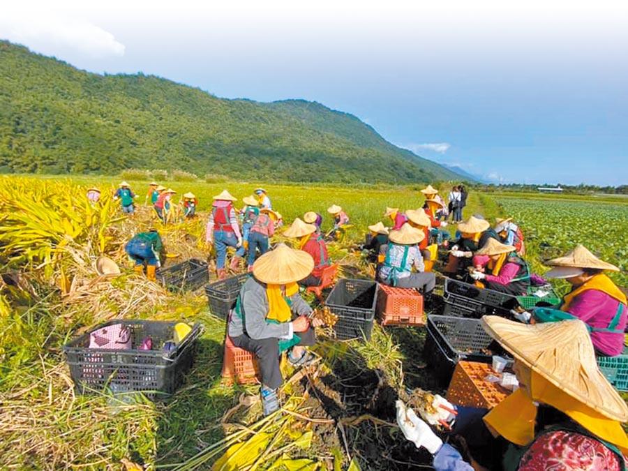 台灣少子化問題嚴重,從農人口大多是45歲以上。圖為農民採收紅薑黃。(淺草堂自然生態農場提供/陳人齊台北傳真)