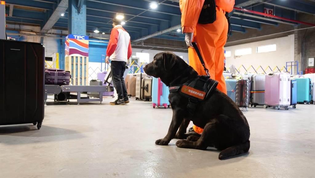 海巡偵搜犬區隊將正式服役,在基隆港嗅聞有無可疑氣味。(岸巡提供/許家寧基隆傳真)