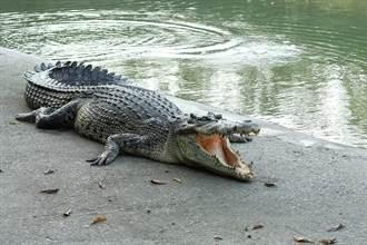 鱷魚不愛進食瘦成皮包骨 腹中內容物引鼻酸