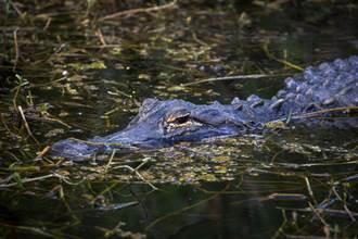兇猛鱷魚骨瘦如柴似木乃伊 檢查驚肚中全是塑膠垃圾
