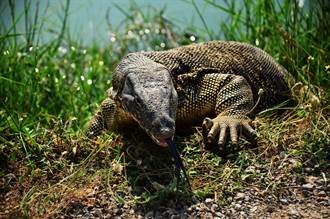 2巨蜥撕咬巨蟒屍體 罕見畫面曝光網驚呆