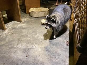 知名咖啡廳遭爆放狗咬浣熊 飼主親道歉4隻浣熊遭沒入