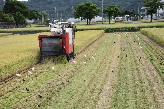 苗栗縣第1期稻作目前正值收成期。〔謝明俊攝〕