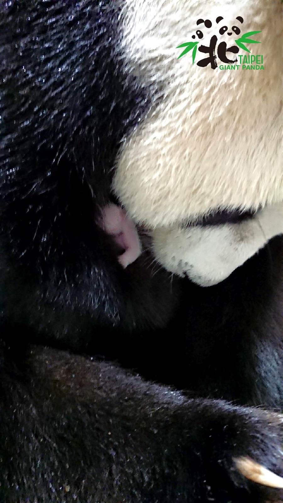 新生的大貓熊寶寶。(臺北市立動物園提供)