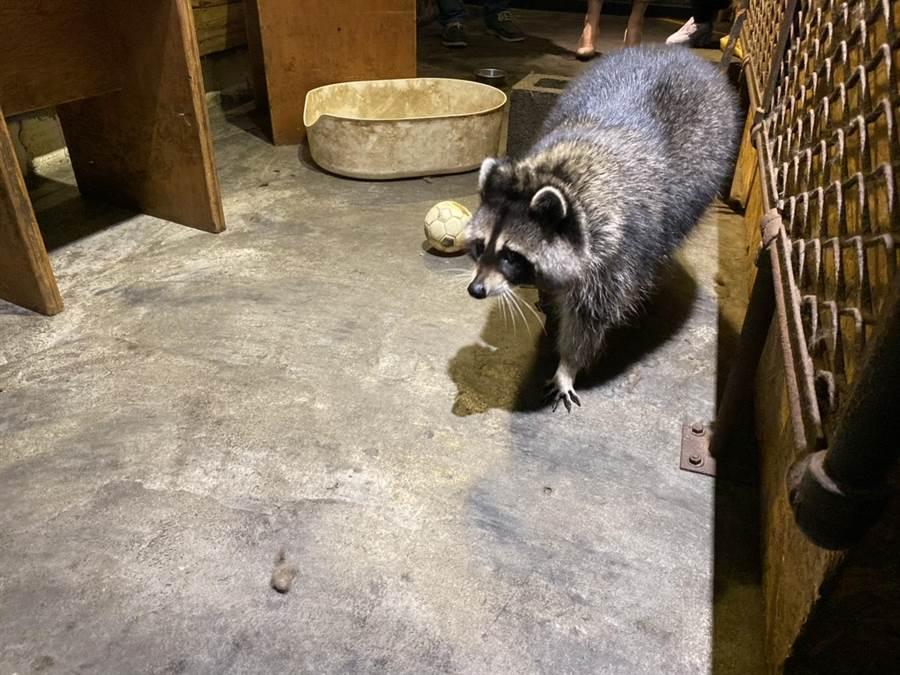 北市一家以可愛動物「小浣熊」為賣點的咖啡廳,遭爆虐待浣熊,動保處29日到場將4隻浣熊都沒入帶走。(張穎齊攝)