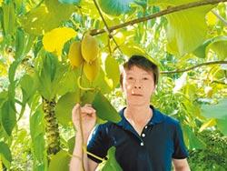 梅山黃金奇異果 品質不輸紐西蘭